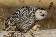 Snowy Owl (Bubo scandiacus). Stock Photography