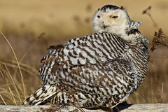 Snowy Owl (Bubo scandiacus). Stock Photo