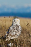 Snowy Owl (Bubo scandiacus). Stock Photos