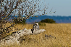 Snowy Owl (Bubo scandiacus). Royalty Free Stock Photo