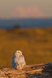 Snowy Owl (Bubo scandiacus). Royalty Free Stock Image