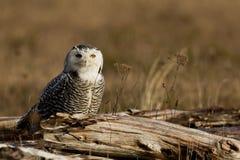 Snowy Owl (Bubo scandiacus). Stock Image