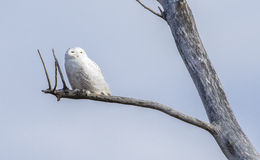 Snowy Owl (Bubo scandiacus) Stock Photos