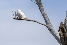 Snowy Owl (Bubo scandiacus). The Snowy Owl (Bubo scandiacus) is a large owl of the typical owl family Strigidae stock image
