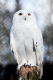 The Snowy Owl (Bubo scandiacus) Stock Images