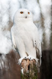 The Snowy Owl (Bubo scandiacus). Is a large owl of the typical owl family Strigidae. It was first classified in 1758 by Carolus Linnaeus royalty free stock photos