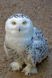 Snowy Owl Royalty Free Stock Image
