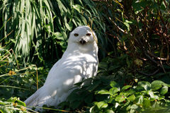 Snowy owl Bubo scandiacus large white bird Stock Photography