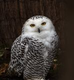 The Snowy Owl, Bubo scandiacus is a large, white owl of the owl family. The Snowy Owl, Bubo scandiacus is a large, white owl of the typical owl family. Snowy royalty free stock image
