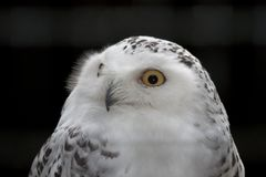 The Snowy Owl, Bubo scandiacus is a large, white owl of the owl family royalty free stock photography