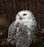 The Snowy Owl, Bubo scandiacus is a large, white owl of the owl family royalty free stock images