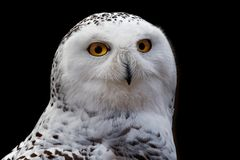 Snowy Owl - Bubo scandiacus, a large, white owl of the typical owl family. Snowy owls are native to Arctic regions in North stock image