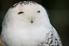 Snowy owl portrait close up. The snowy owl, Bubo scandiacus, is a large, white owl of the true owl family. Males are almost all white, while females have more royalty free stock photo