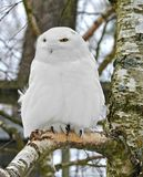 Snowy owl Bubo scandiacus, large, white owl of typical owl family. Male stock images