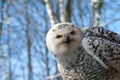 Snowy owl bubo scandiascus royalty free stock photography