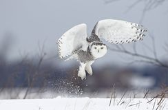 A Snowy owl Bubo scandiacus lifts off to hunt over a snow covered field in Canada. Snowy owl Bubo scandiacus lifts off to hunt over a snow covered field in Royalty Free Stock Photography