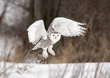 A Snowy owl Bubo scandiacus lifts off to hunt over a snow covered field in Canada. Snowy owl Bubo scandiacus lifts off to hunt over a snow covered field in Royalty Free Stock Photo