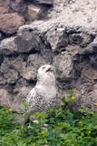 Snowy owl or Bubo scandiacus Royalty Free Stock Photography