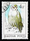 Snowy owl Bubo scandiacus or Nyctea scandiaca Stock Image