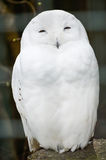 Snowy Owl - Bubo scandiacus Royalty Free Stock Photography