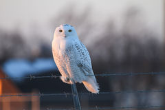 Snowy Owl. (Bubo scandiacus) perched on a barbed wire fence in the glow of the late afternoon sun Royalty Free Stock Photos