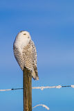 Snowy Owl (Bubo Scandiacus) Stock Images