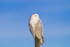 Snowy Owl (Bubo Scandiacus) Stock Image