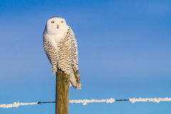 Snowy Owl (Bubo Scandiacus) Royalty Free Stock Photography