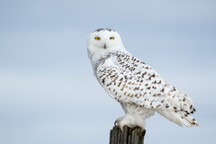 Snowy Owl, Bubo Scandiacus Stock Photos