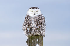 Snowy owl. Bubo scandiacus perched on a post in winter Royalty Free Stock Photos