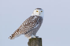 Snowy owl (Bubo scandiacus) isolated against a blue background perched on a post hunting over an open snowy field in. Canada stock photography