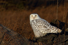 Snowy owl Bubo scandiacus perched on a rock in autumn royalty free stock images