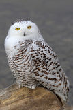 Snowy owl Bubo scandiacus perched on a rock in winter in Canada stock photos