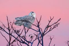 Snowy Owl (Bubo scandiacus) Royalty Free Stock Image