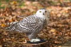 The snowy owl, Bubo scandiacus. Portrait of The snowy owl, Bubo scandiacus royalty free stock images