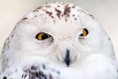 Snowy Owl (Bubo scandiacus) Portrait. Montreal, Quebec, Canada Stock Image