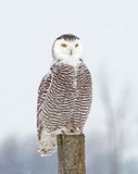 Snowy owl (Bubo scandiacus) perched on a post hunts over a snow covered field in Canada stock photo