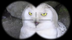 Snowy Owl Bubo scandiacus Seen through Binoculars. Seen through Binoculars. Bird Watching at Wildlife Safari. Shot with a Sony a6300 fps 29,97 4k stock video footage