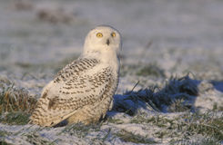 Snowy owl, Bubo scandiacus Stock Photography