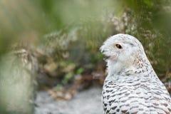 Snowy Owl - Bubo scandiacus Royalty Free Stock Photos