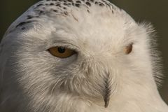 Snowy Owl, Bubo scandiacus. Snowy White with yellow eyes stock photography