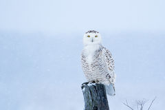 Snowy Owl, Bubo Scandiacus Royalty Free Stock Photos