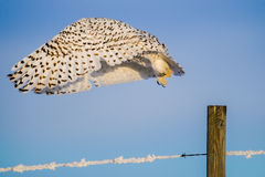 Snowy Owl (Bubo Scandiacus) Stock Photo