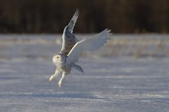 A Snowy owl Bubo scandiacus taking off hunting at sunset over a snow covered field in Canada. Snowy owl Bubo scandiacus taking off hunting at sunset over a snow royalty free stock photos