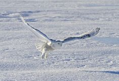 A Snowy owl Bubo scandiacus taking off hunting at sunset over a snow covered field in Canada. Snowy owl Bubo scandiacus taking off hunting at sunset over a snow Stock Photography