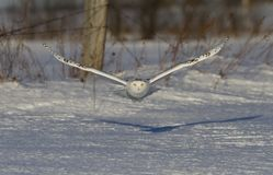 A Snowy owl Bubo scandiacus taking off hunting at sunset over a snow covered field in Canada. Snowy owl Bubo scandiacus taking off hunting at sunset over a snow Royalty Free Stock Photography