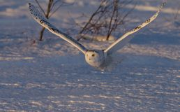 A Snowy owl Bubo scandiacus taking off hunting at sunset over a snow covered field in Canada Stock Images