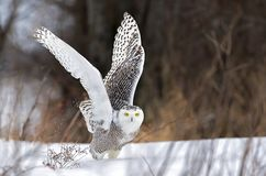 A Snowy owl Bubo scandiacus spreads its wings and prepares to lift off to hunt over a snow covered field in Canada. Snowy owl Bubo scandiacus spreads its wings stock image
