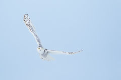 Snowy Owl , Bubo Scandiacus Stock Photography