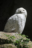 Snowy owl (Bubo scandiacus). Royalty Free Stock Images